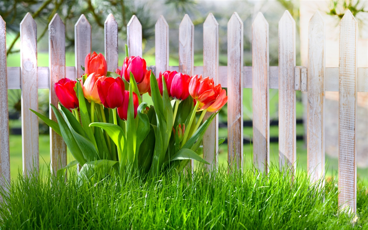 Spring-flowers-red-tulips-garden-grass_1280x800